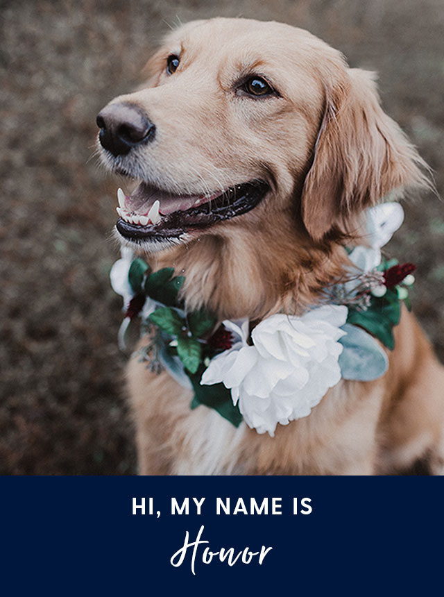 Hi, my name is Honor. A Golden Retriever dog.