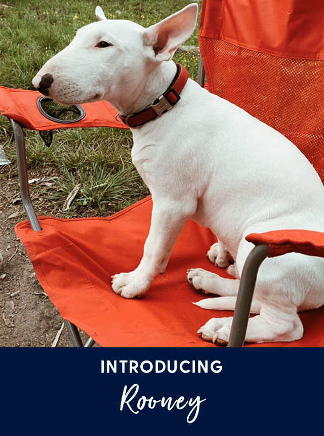 Introducing Rooney. A Bull Terrier dog.