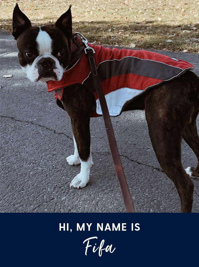 Hi, my name is Fifa. A Boston terrier dog.
