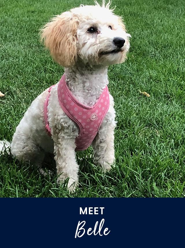 Meet Belle. A Maltipoo dog.